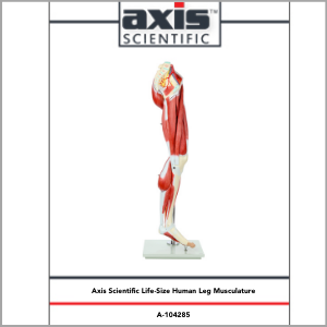 Axis Scientific Life-Size 13-Part Human Muscular Leg with Detachable Muscles Anatomy Model Study Guide Booklet and Manual