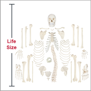 Axis Scientific Disarticulated Life-Size Human Skeleton with 3-Part Skull Anatomy Model is life-size.