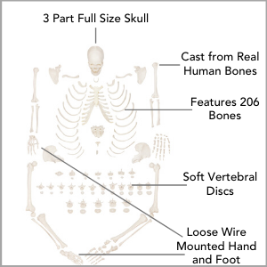 Axis Scientific Disarticulated Life-Size Human Skeleton with 3-Part Skull Anatomy Model Main Features.