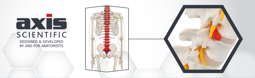 Axis Scientific Lumbar Vertebral Column with Sacrum and Spinal Nerves Anatomy Model
