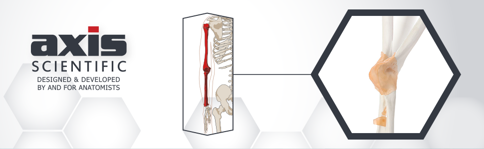 Axis Scientific Human Elbow Joint with Functional Ligaments Anatomy Model