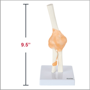 Axis Scientific Human Elbow Joint with Functional Ligaments Anatomy Model Dimensions 10 x 5 x 5 inches.