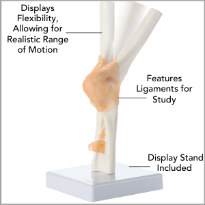 Axis Scientific Human Elbow Joint with Functional Ligaments Anatomy Model Main Features.