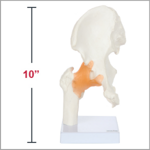 Axis Scientific Human Hip Joint with Functional Ligaments Anatomy Model Dimensions 10 x 5 x 5 inches.
