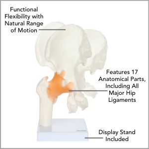 Axis Scientific Human Hip Joint with Functional Ligaments Anatomy Model Main Features.