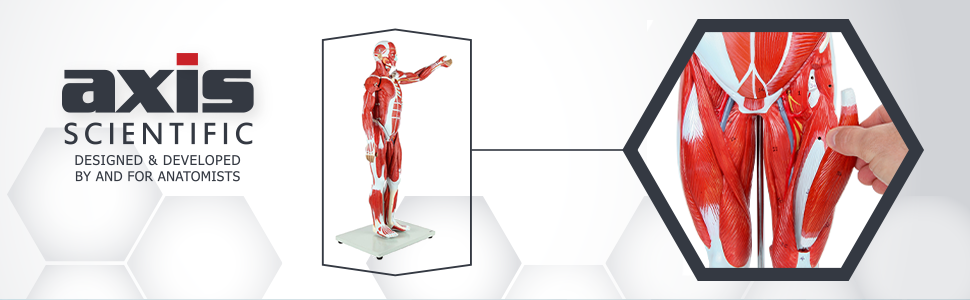 Axis Scientific Half Life-Size 27-Part Human Muscular Figure with Organs Anatomy Model