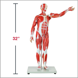 Axis Scientific Half Life-Size 27-Part Human Muscular Figure with Organs Anatomy Model Dimensions 32 x 7 x 11 inches.