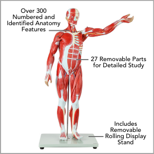Axis Scientific Half Life-Size 27-Part Human Muscular Figure with Organs Anatomy Model Main Features.