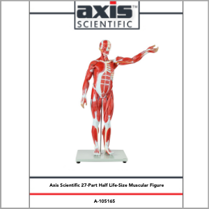 Axis Scientific Half Life-Size 27-Part Human Muscular Figure with Organs Anatomy Model Study Guide Booklet and Manual.