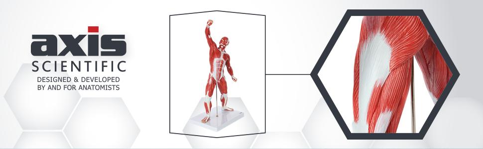 Axis Scientific Miniature Human Muscular Figure Anatomy Model