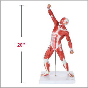 Axis Scientific Miniature Human Muscular Figure Anatomy Model Dimensions 21 x 8 x 9 inches.