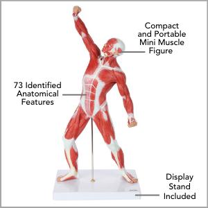 Axis Scientific Miniature Human Muscular Figure Anatomy Model Main Features.
