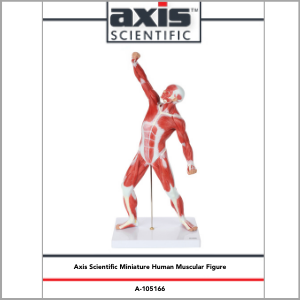 Axis Scientific Miniature Human Muscular Figure Anatomy Model Study Guide Booklet and Manual.