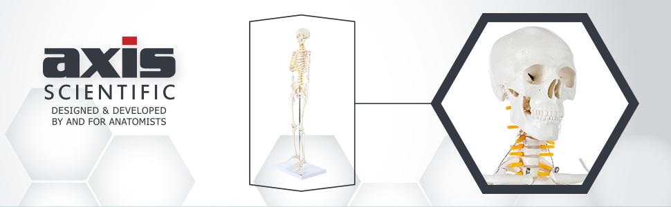 Axis Scientific Miniature Human Skeleton Anatomy Model