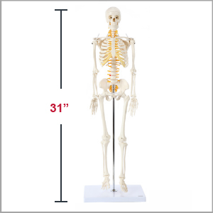 Axis Scientific Miniature Human Skeleton Anatomy Model Dimensions 31 x 5 x 8 inches.