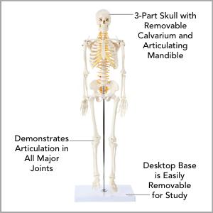 Axis Scientific Miniature Human Skeleton Anatomy Model Main Features