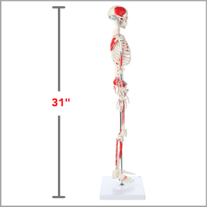 Axis Scientific Miniature Muscle Painted and Numbered Human Skeleton Anatomy Model Dimensions 31 x 5 x 8 inches.