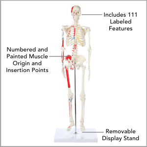 Axis Scientific Miniature Muscle Painted and Numbered Human Skeleton Anatomy Model Main Features