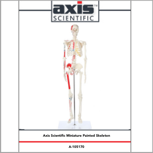 Axis Scientific Miniature Muscle Painted and Numbered Human Skeleton Anatomy Model Study Guide Booklet and Manual