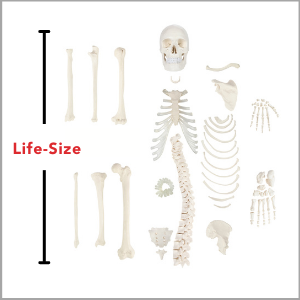 Axis Scientific Disarticulated Half Human Skeleton Anatomy Model is life-size.