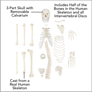 Axis Scientific Disarticulated Half Human Skeleton Anatomy Model Main Features.
