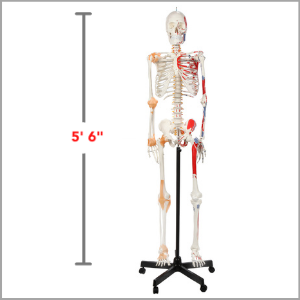 Axis Scientific Painted and Numebered Flexible Life-Size Human Skeleton Anatomy Model Dimensions 66 x 17 x 11 inches.