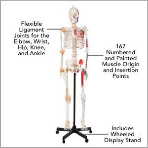 Axis Scientific Painted and Numbered Flexible Life-Size Human Skeleton Anatomy Model Main Features.