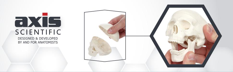 Axis Scientific 3-Part Miniature Human Skull Model