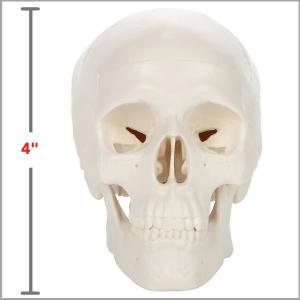 Axis Scientific 3-Part Miniature Human Skull Anatomy Model Dimensions 3 x 4 x 2 inches