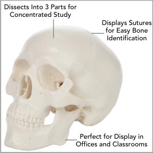 Axis Scientific 3-Part Miniature Human Skull Anatomy Model Main Features