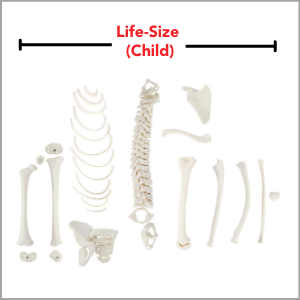 Axis Scientific Disarticulated Half Child Skeleton Anatomy Model is child-size (5-year-old).