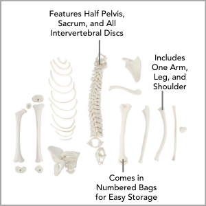 Axis Scientific Disarticulated Half Child Skeleton Anatomy Model Main Features.