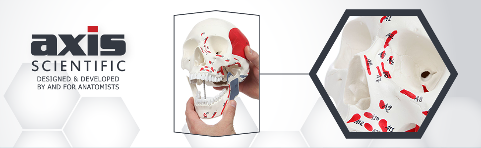 Axis Scientific Life-Size Painted and Numbered 3-Part Human Skull Anatomy Model