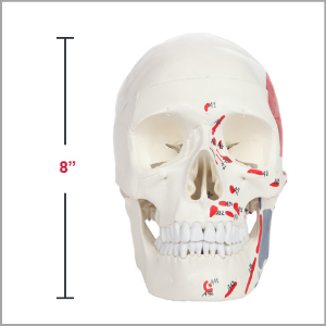 is Scientific Life-Size Painted and Numbered 3-Part Human Skull Anatomy Model Dimensions 7 x 8 x 3 inches
