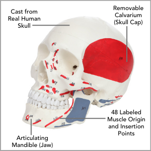 Axis Scientific Life-Size Painted and Numbered 3-Part Human Skull Anatomy Model Main Features