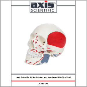 Axis Scientific Life-Size Painted and Numbered 3-Part Human Skull Anatomy Model Study Guide Booklet and Manual