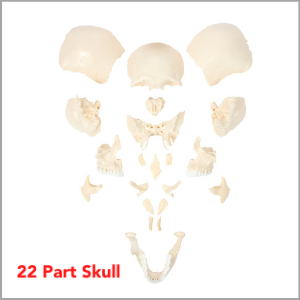 Axis Scientific Life-Size 22-Part Disarticulated Human Skull Model  Dimensions 15 x 10 x 15 inches