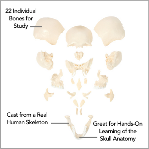 Axis Scientific Life-Size 22-Part Disarticulated Human Skull Model Main Featuress