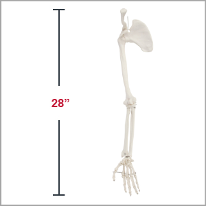 Axis Scientific Life-Size Human Arm Skeleton with Clavicle, Scapula, and Articulated Hand Anatomy Model Dimensions 4 x 33 x 3 inches.