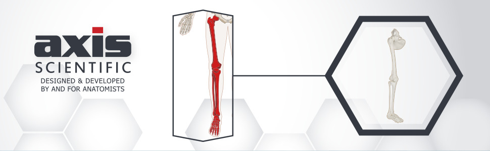 Axis Scientific Life-Size Human Leg Skeleton with Hip Joint and Articulated Foot Anatomy Model