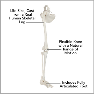Axis Scientific Life-Size Human Leg Skeleton with Hip Joint and Articulated Foot Anatomy Model Main Features
