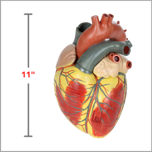 Axis Scientific 3x Life-Size 3-Part Human heart Anatomy Model Dimensions 8 x 11 x 10 inches.