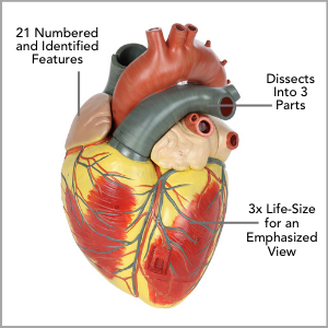 Axis Scientific 3x Life-Size 3-Part Human heart Anatomy Model Main Features.