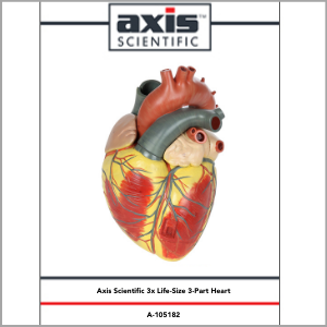 Axis Scientific 3x Life-Size 3-Part Human heart Anatomy Model Study Guide Booklet and Manual.