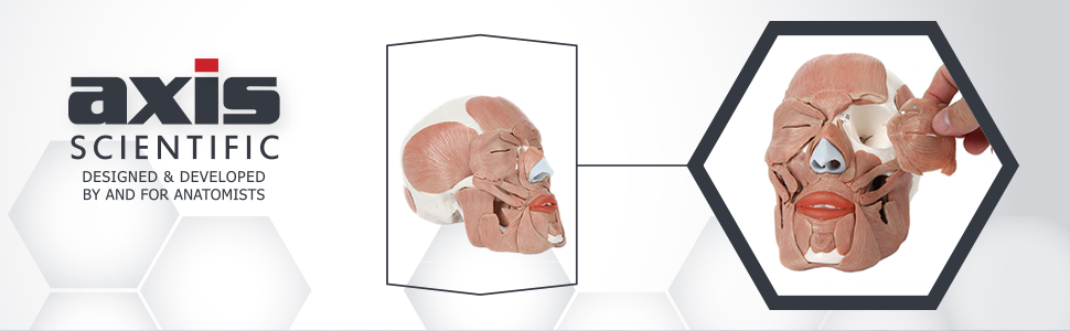 Axis Scientific Life-Size Human Skull with Removable Muscles Anatomy Model