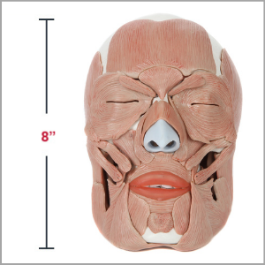 Axis Scientific Life-Size Human Skull with Removable Muscles Anatomy Model Dimensions 7 x 8 x 5 inches