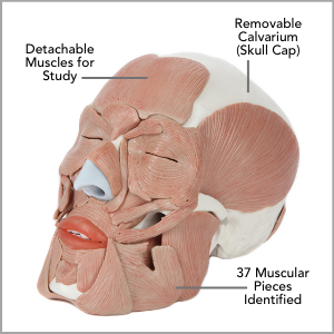 Axis Scientific Life-Size Human Skull with Removable Muscles Anatomy Model Main Features