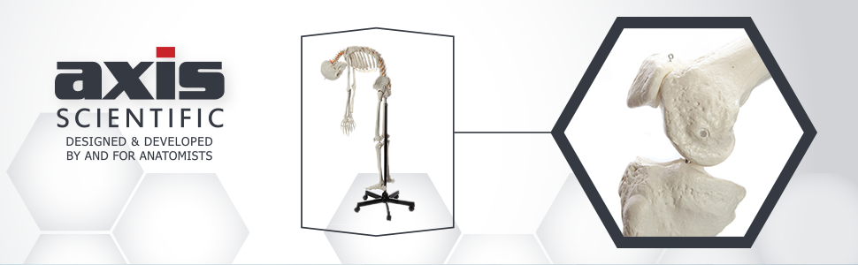 Axis Scientific Flexible Life-Size Human Skeleton Anatomy Model with Study Booklet and Numbering Guide