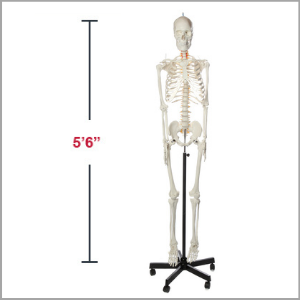 Axis Scientific Flexible Life-Size Human Skeleton Anatomy Model Dimensions 66 x 17 x 11 inches.