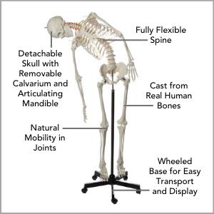 Axis Scientific Flexible Life-Size Human Skeleton Anatomy Model Main Features.